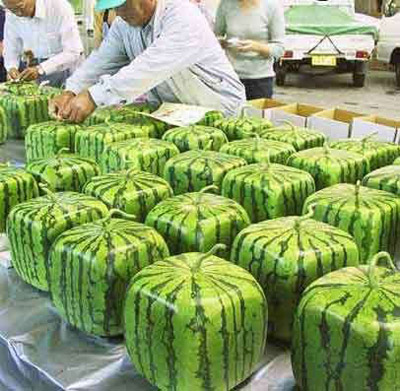 Practical watermelon ideas from Japan - square watermelons