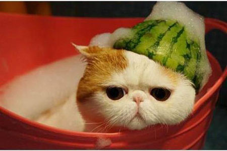 cat with watermelon helmet