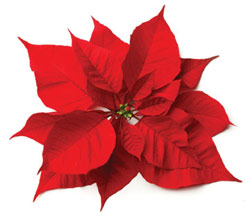 National Poinsettia Day plant