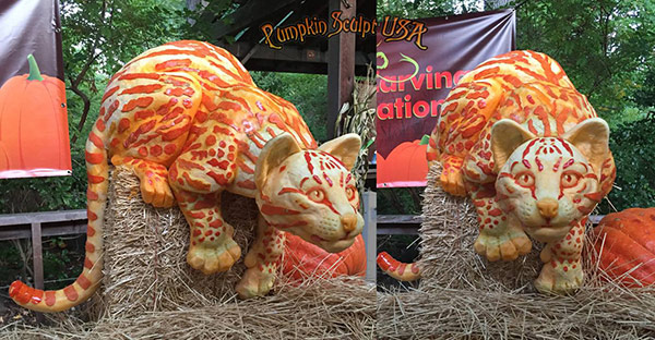 Big cat animal pumpkin sculptures by Pumpkin Sculpt USA